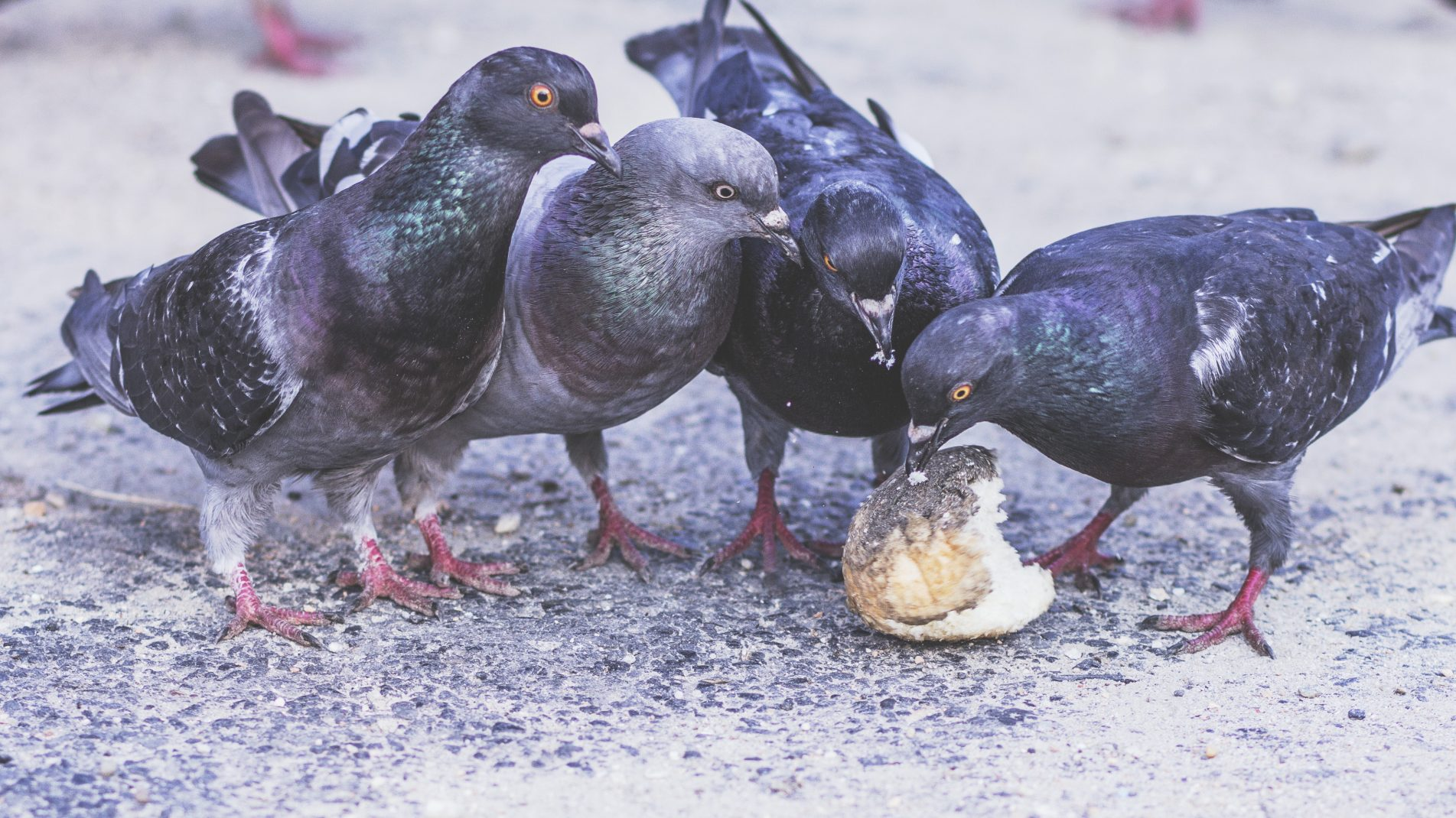 Pigeons Eating Bread Outdoors