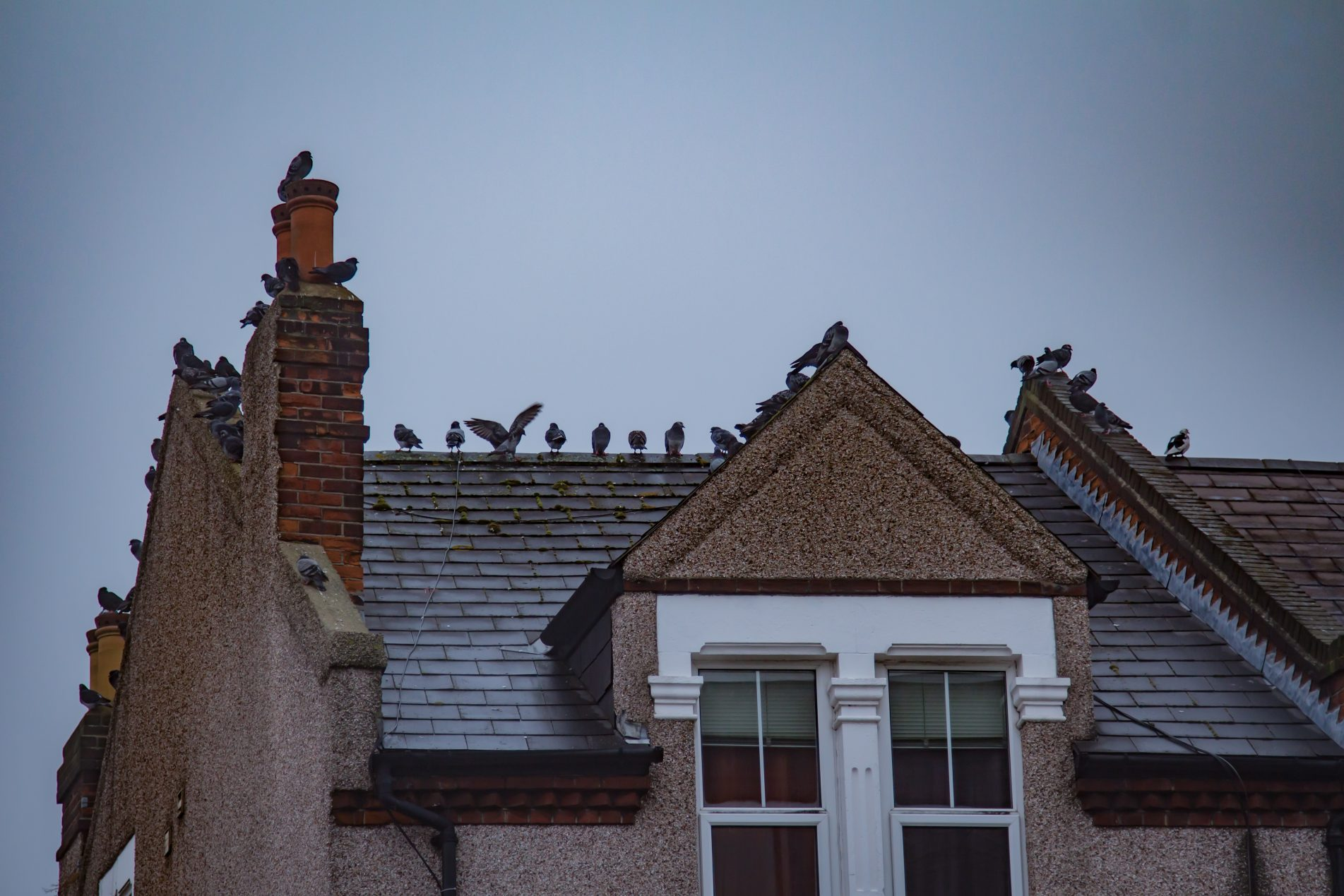 Pigeons on top of roof