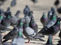 Flock of Pigeons Outdoors