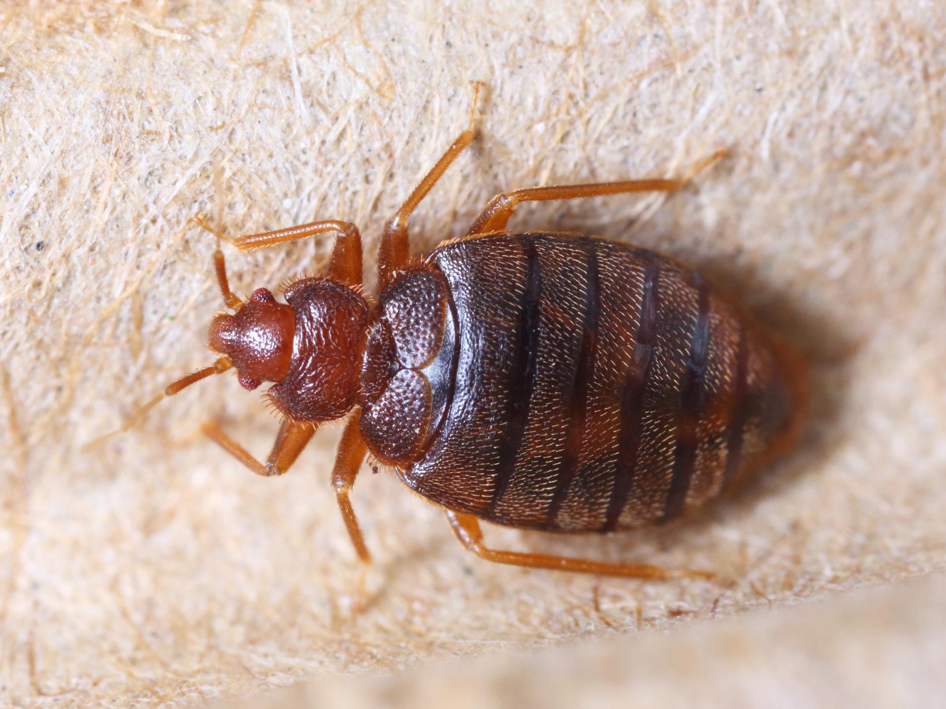 Bedbug-NPC-service