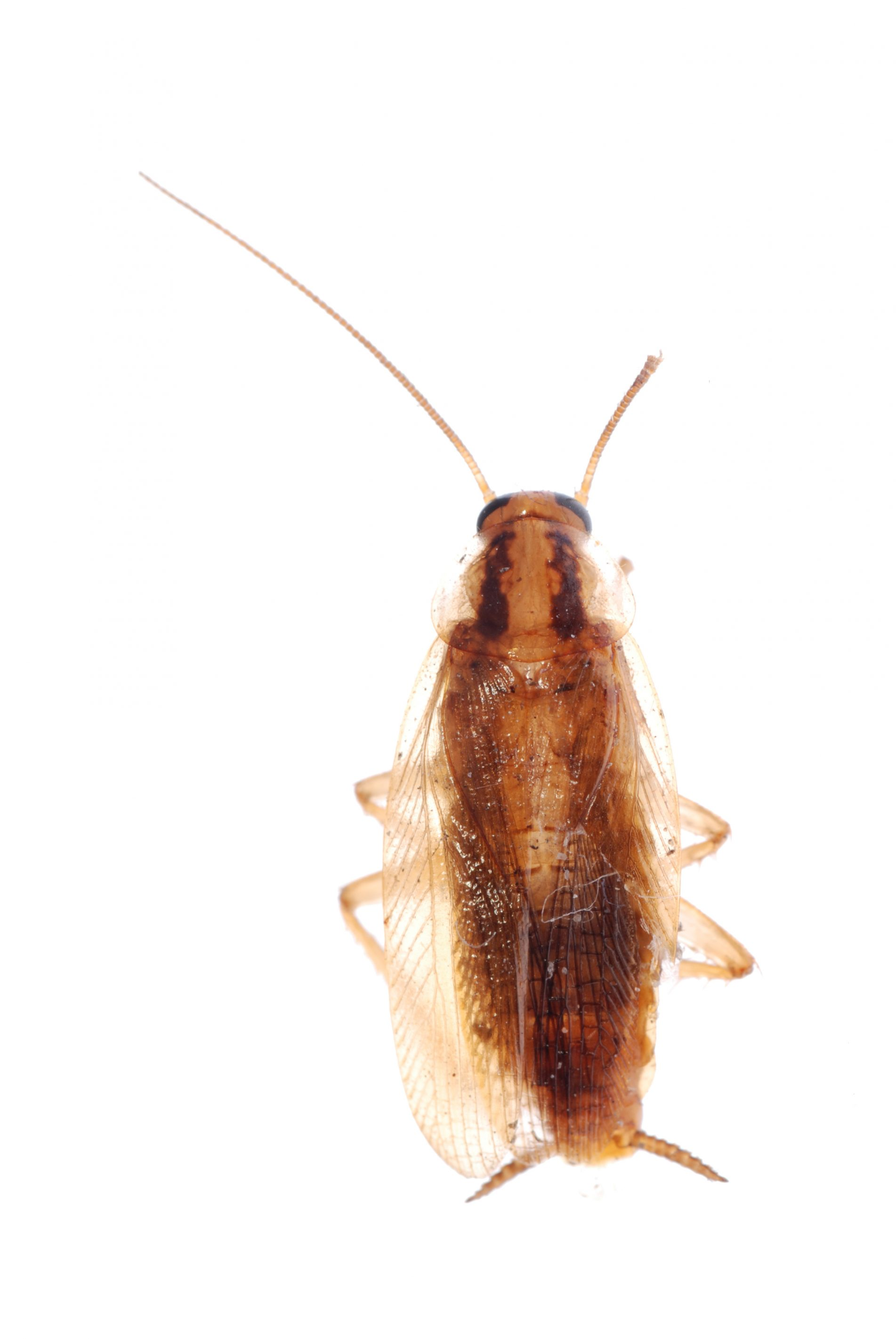 german cockroach isolated