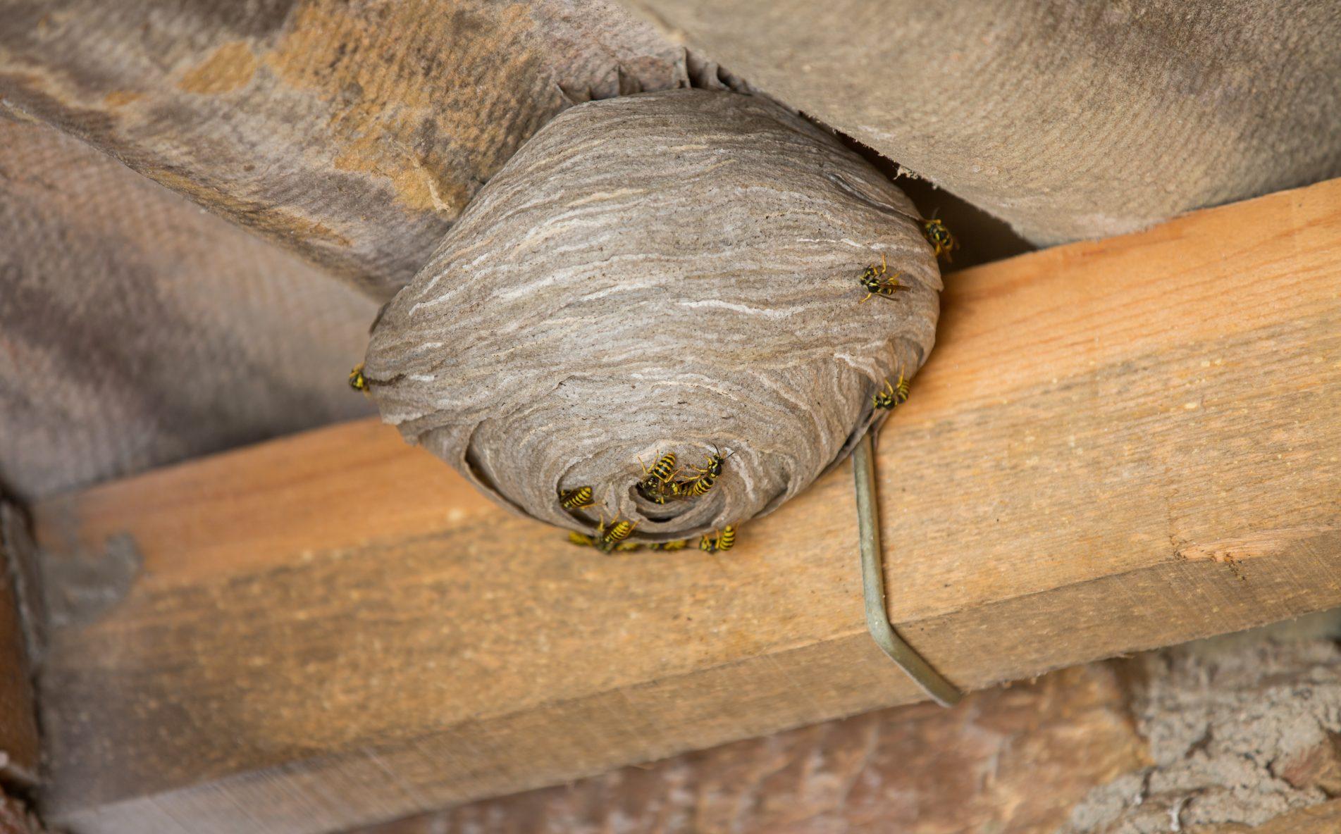 Nottingham Pest Control Wasp Nest Treatment